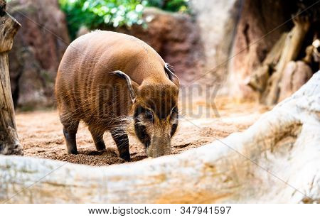 A Red River Hog In Its Cage At Bioparc Fuengirola