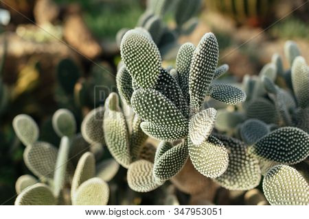 Green Opuntia Plant From Cactus Family. Exotic Evergreen South American Tropical Plants In Botanical