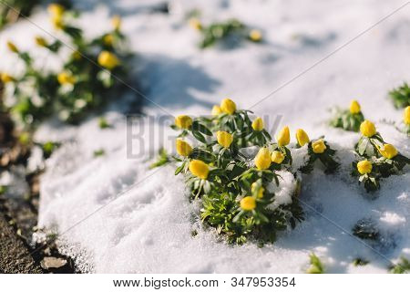 Close Up Photo Of Blooming Yellow Spring Crocus In Snow. Awakening Of Plants In The Spring. Snowdrop