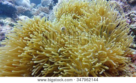 Sea Anemone And Clown Fish On The Coral Reef, Tropical Fishes. Underwater World Diving And Snorkelin