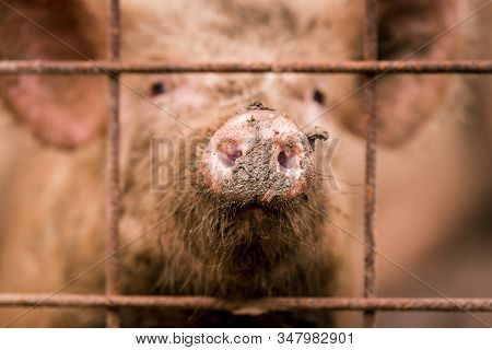 African Swine Fever Virus, Asfv. One Pig In A Cage