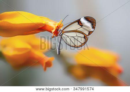 Beautiful Glasswing Butterfly (greta Oto) In A Summer Garden On A Orange Flower. In The Amazone Rain
