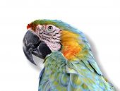 Portrait of a colorful parrot - Isolated with shado poster