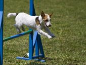Small dog jumps hurdles in an agility competition poster
