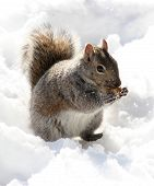 squirrel munching peanut in snow poster