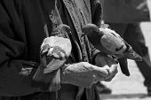 Two pigeons standing on old man's hands - bw photo poster