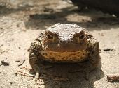 The ordinary toad sits on road and looks at you poster
