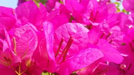 Coruscant And Botany Photo With Pink Bougainvillea Floral Match For Header Website. Royalty Free Sto