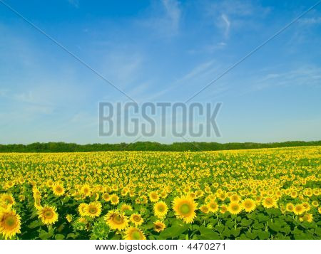 Field Of Sunflowers And The Blue Sky
