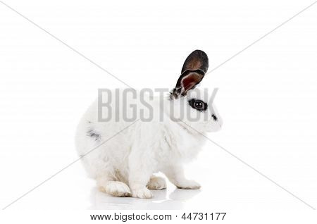 white dalmatian rabbit with black spots