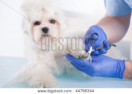 Smiling vet making a checkup of a dog maltese.