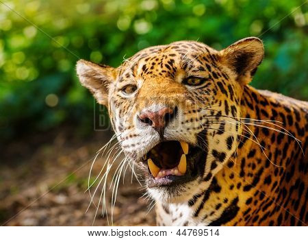 Close-up shot of a gorgeous roaring leopard