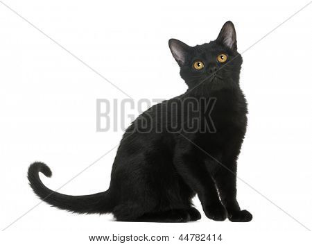 Bombay kitten sitting and looking up, isolated on white