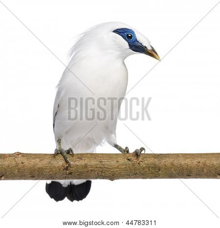 Rothschild's Swift on a branch - Cypseloides rothschildi - isolated on white