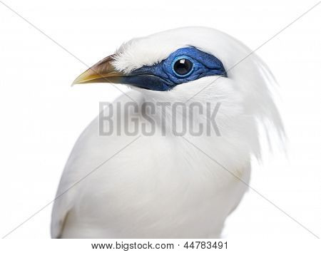 Close-up of a Rothschild's Swift - Cypseloides rothschildi - isolated on white