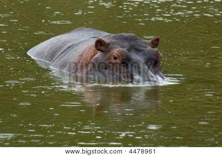 Hippopotamus In Shallow Water