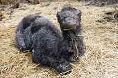 Newborn two-humped or Bactrian camel (Camelus bactrianus) poster