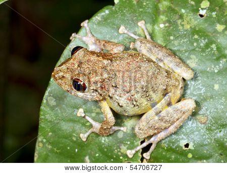 Diadem Rain Frog (Pristimantis diadematus)