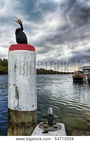 Call of the Cormorant