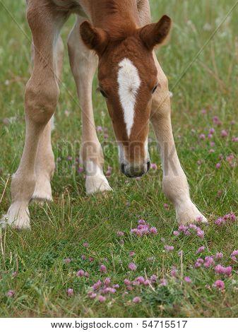 Foal In Flowers