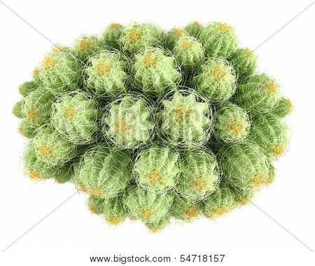 Plant bush. Echinocereus triglochidiatus top