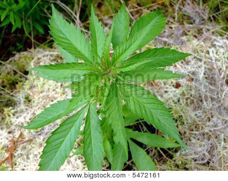 Marijuana Plant Macro