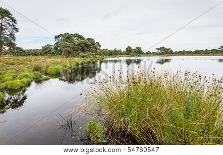Great Bulrush In The Foreground Of A Wet Landscape