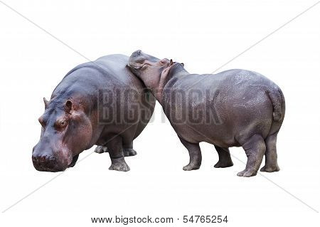 Hippopotamus Couple