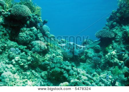 poster of eagle ray taken in the red sea.