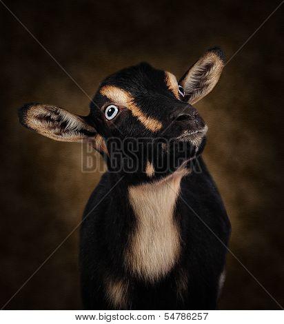 Tan and Black Goat