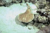 torpedo ray taken in the red sea. poster