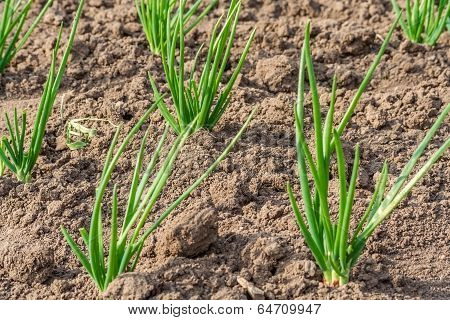Bed With Spring Onions