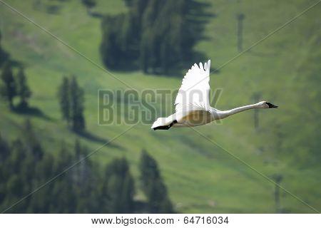 Trumpeter Swan (cygnus Buccinator) Flying