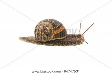 Profile of garden snail with boldly striped shell isolated on a white background poster