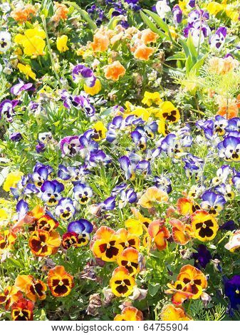 Flowers Of Pansies That Bloom In The Spring