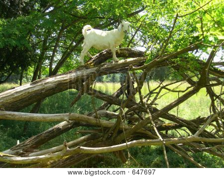 Goat Arnold Sez Hey Look At ME