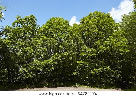 Tree crowns of broadleaf trees at a forest edge taken at bright sunshine and a blue sky with white clouds. poster