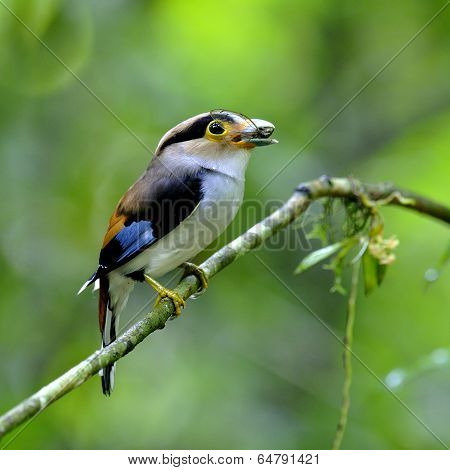Silver-breasted Broadbill Bird (serilphus Lunatus) Carrying Cigada In Mounth For Its Chicks In The N