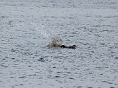 A pelican dives into the water to catch a fish poster