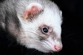 Close-up portrait of female ferret (Mustela putorius furo) poster