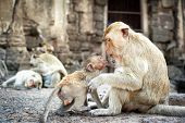 Lopburi Thailand. Monkey ( Crab-eating or Long-tailed macaque ) in Prang Sam Yot temple. Khmer ancient Buddhist pagoda ruins are famous thai tourist travel destination.  poster