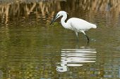 A white Western Reef Heron (Egretta gularis) probing the mud with its foot to feel for fish poster