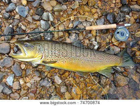 Trophy fish, rod and reel - a huge record sized Salmon related fish (salmonid) Brown Trout
