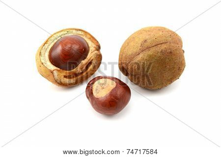 Ripe Conkers In Open And Unopened Smooth Capsules