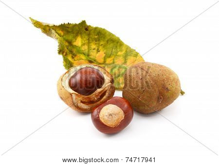 Conkers And Smooth Seed Cases With Red Horse Chestnut Leaf