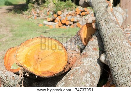 Felling Of Cedar Trees