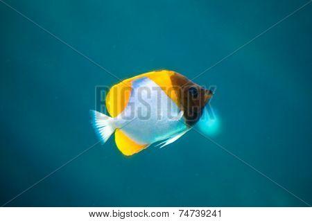 Yellow and white fish in aquarium