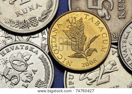 Coins of Croatia. Tobacco plant (Nicotiana tabacum) depicted in the Croatian 10 lipa coin.