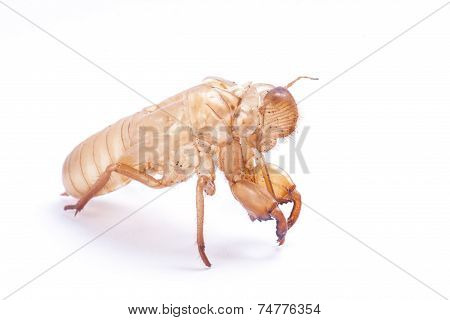 Cicada molt isolated