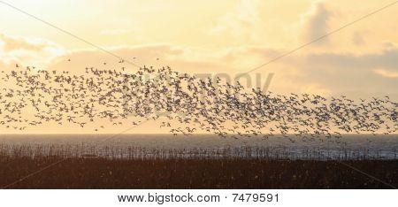 Snow Goose Flight